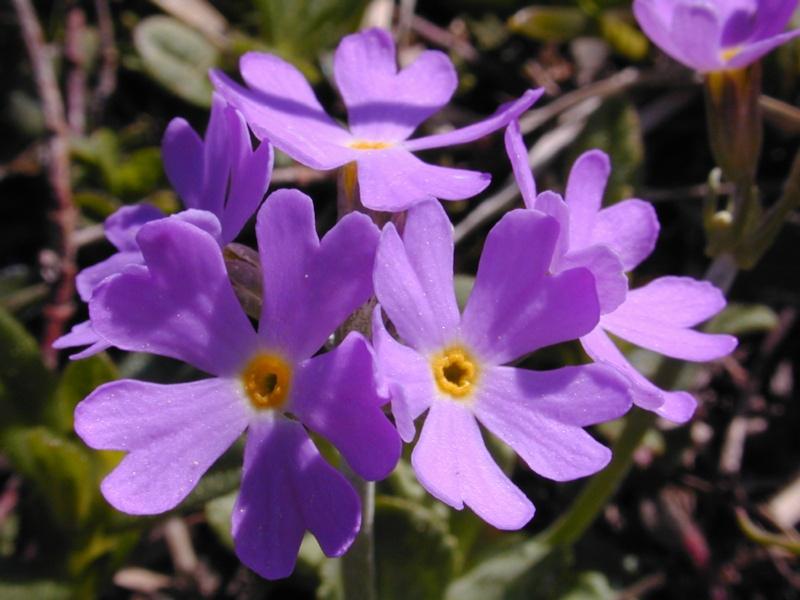 fleurs%20bleues